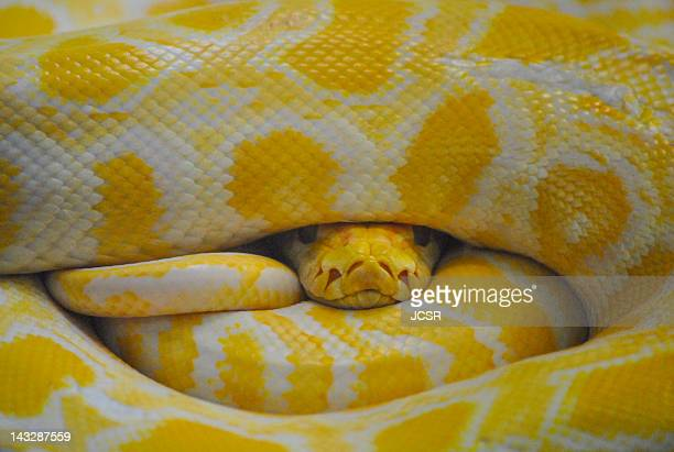 yellow python - burmese python stock pictures, royalty-free photos & images