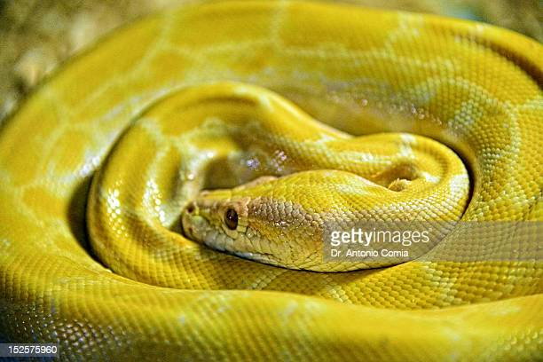 yellow python - yellow burmese python stock pictures, royalty-free photos & images