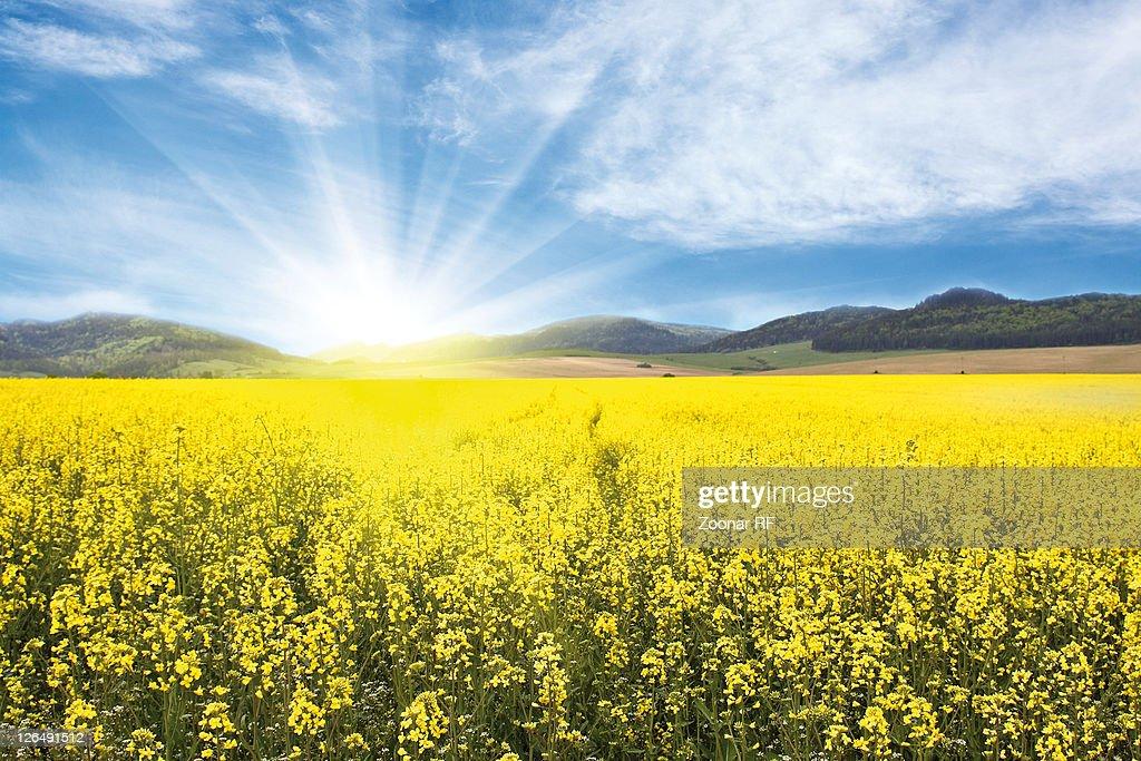 Yellow Rape-seed Field : ストックフォト