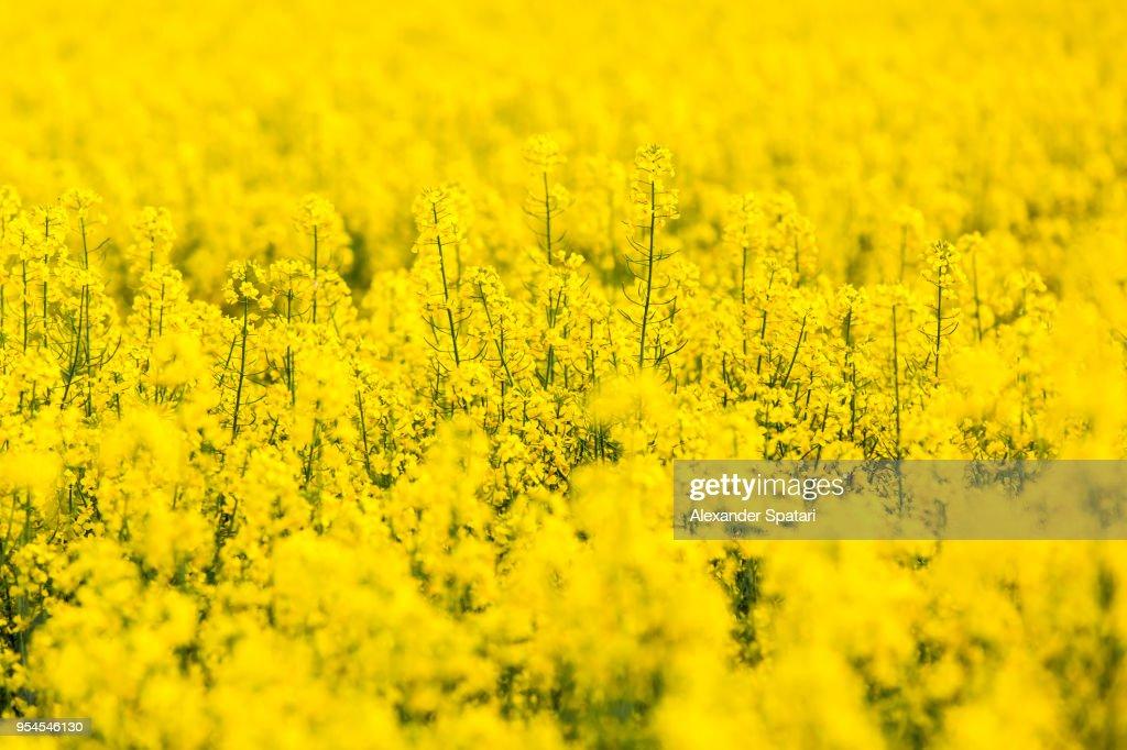 Yellow rapeseed flowers field : Stock Photo