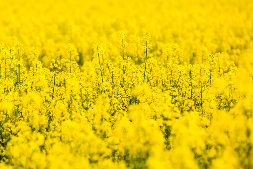Yellow rapeseed flowers field - gettyimageskorea