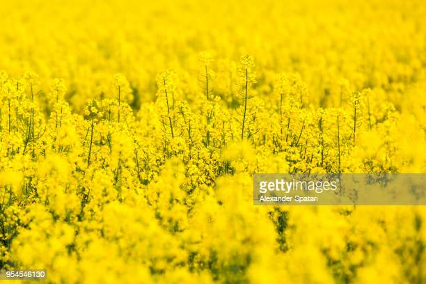 yellow rapeseed flowers field - yellow photos et images de collection
