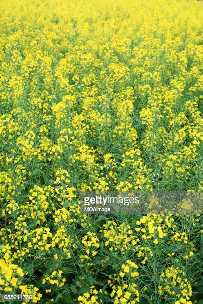 Yellow rapeseed (Brassicaceae),Rape field