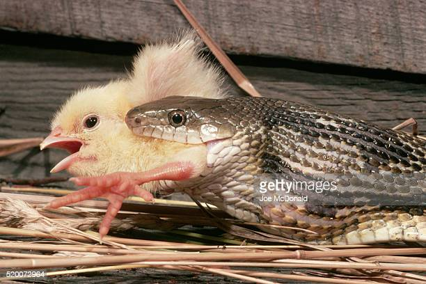 yellow rat snake eating a chick - chicken snake stock pictures, royalty-free photos & images