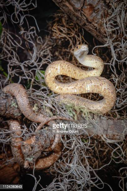 yellow rat snake in tree - juvenile - squamata stock photos and pictures