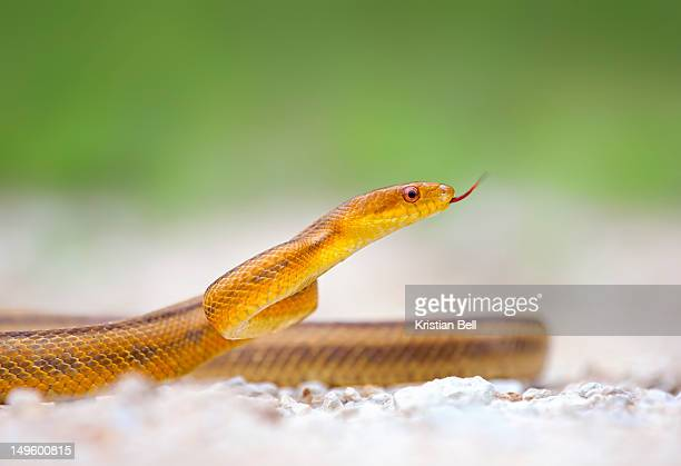 yellow rat snake - rat snake stock photos and pictures