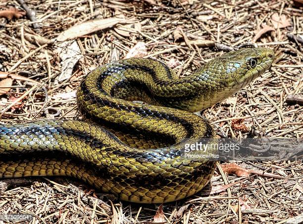 yellow rat snake - chicken snake stock pictures, royalty-free photos & images