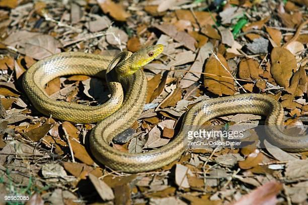 yellow rat snake (elaphe obsoleta quadrivittata) - chicken snake stock pictures, royalty-free photos & images
