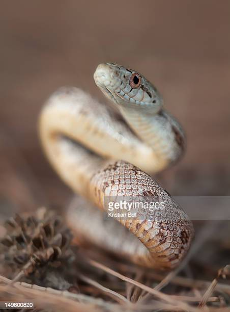 yellow ratsnake - chicken snake stock pictures, royalty-free photos & images