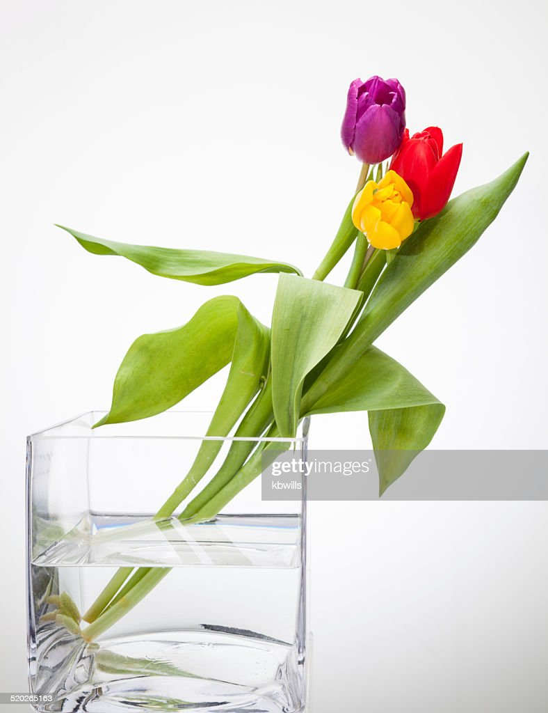 Yellow Red Purple Tulips In Square Glass Vase Isolated High Res Stock Photo Getty Images