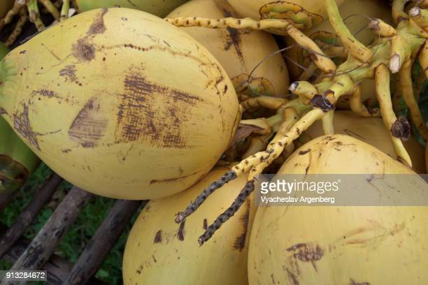 yellow ripe coconuts, neil island, south andaman islands - argenberg ストックフォトと画像