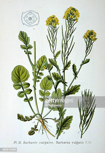Yellow rocket 1893 Botanical illustration of Barbarea vulgaris also known as yellow rocket or winter cress from an atlas of the plants of France