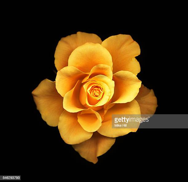Yellow rose against black background