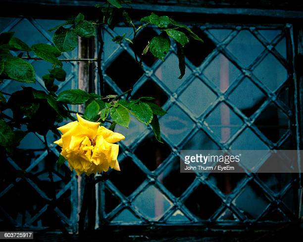 Yellow Rose Blooming Against Window
