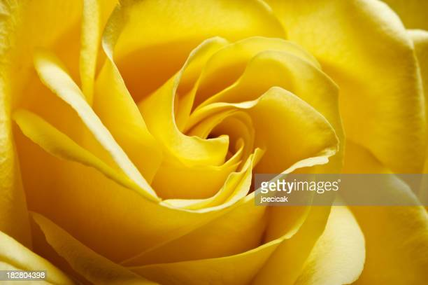 Yellow Rose Extreme Close Up
