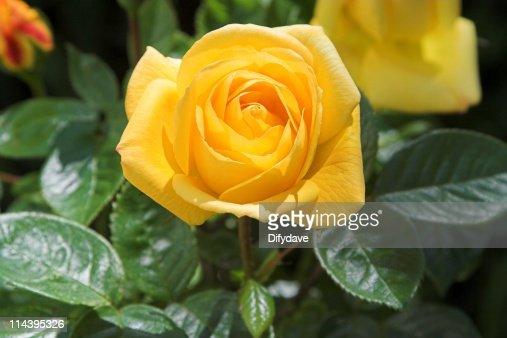 13 256点の黄色 バラのストックフォト Getty Images