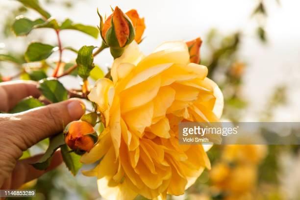 yellow rose growing at an australian vineyard - rosenfarben stock-fotos und bilder