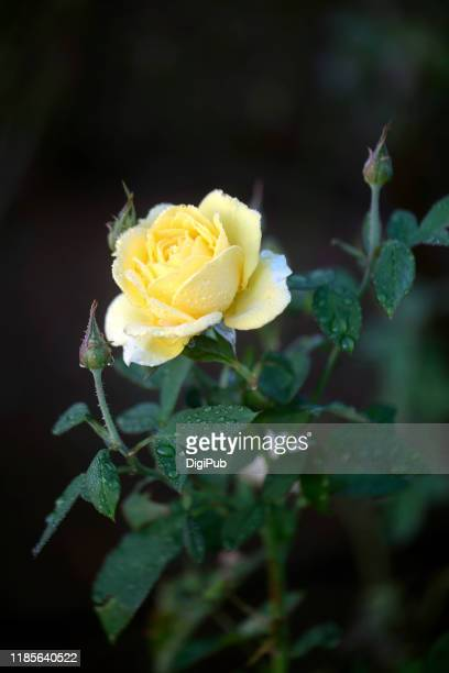 yellow rose in the morning on october 30, 2019 in yokohama - istock images stock pictures, royalty-free photos & images