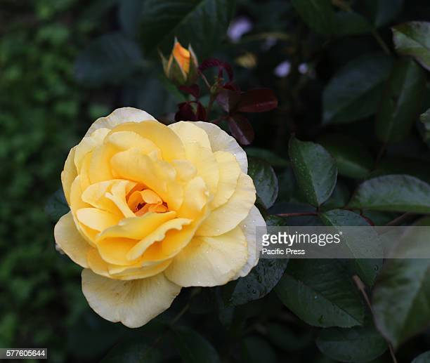 A yellow rose is seen in the University of Warsaw's botanical garden The University of Warsaw's Botanical garden held its 14th annual festival roses...