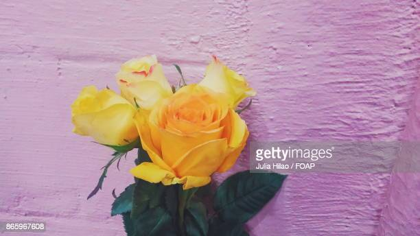 Yellow rose on pink background