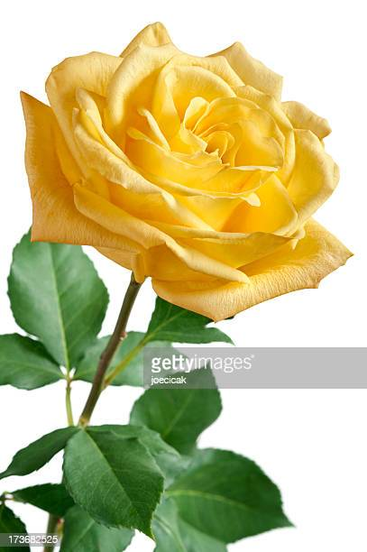 yellow rose on white background - single object stock pictures, royalty-free photos & images