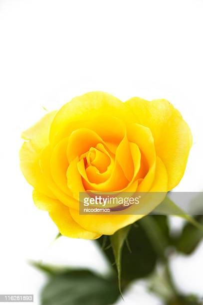 yellow rose - single object stock pictures, royalty-free photos & images
