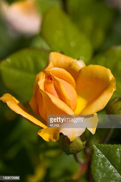 yellow rose - rose fleur stock photos and pictures