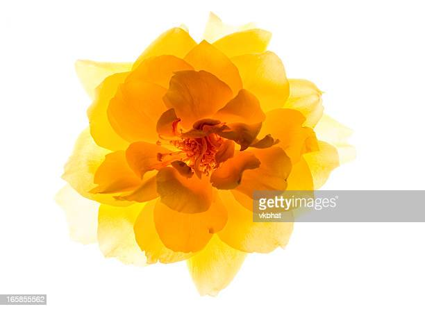 yellow rose - translucent stock pictures, royalty-free photos & images