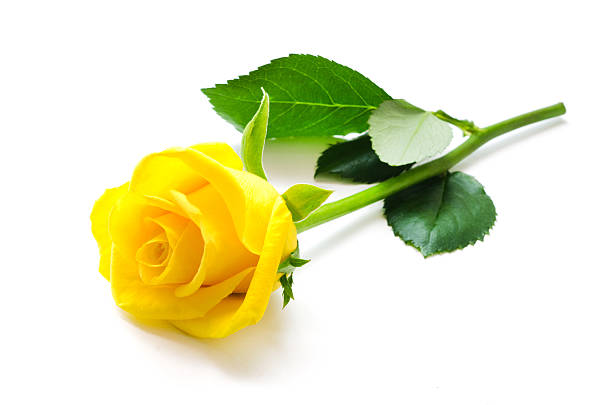 Single Rose Clipart: Free Yellow Rose Images, Pictures, And Royalty-Free Stock