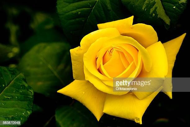 yellow rose - crmacedonio stockfoto's en -beelden