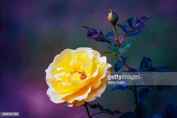 yellow rose - neha gupta stock pictures, royalty-free photos & images