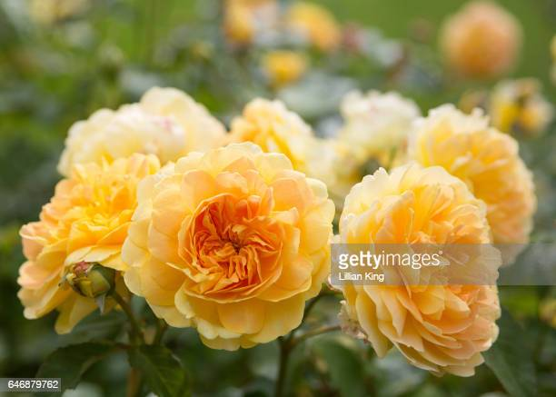 yellow rose - yellow roses stock photos and pictures