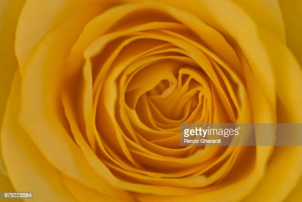 yellow rose - renzo gherardi stock photos and pictures