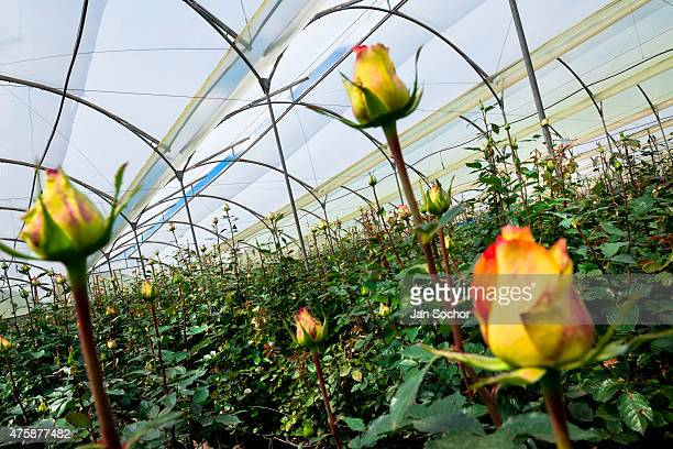 Yellow roses are seen at a flower farm in Cayambe Ecuador 23 June 2010 Ecuador is one of the world leaders in cut flower industry The advantage of...