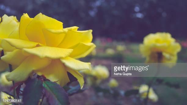 yellow roses. garden. - neha gupta stock pictures, royalty-free photos & images