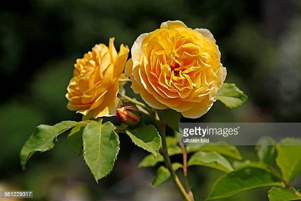 Graham thomas rose stock photos and pictures getty images yellow roses graham thomas rosa l rose garden of spangenberg castle spangenberg schwalmeder district hesse germany thecheapjerseys Images