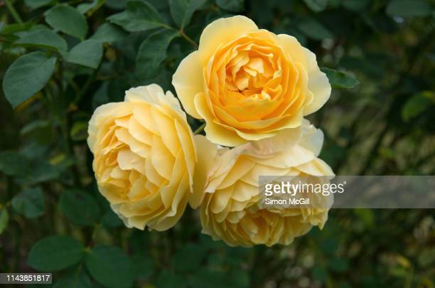 Yellow roses in bloom