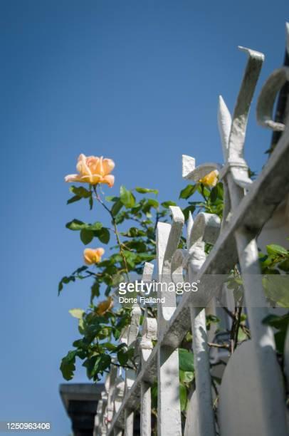 yellow roses on a white iron fence against a blue sky - dorte fjalland fotografías e imágenes de stock