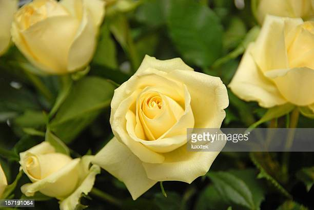 yellow roses - yellow roses stock photos and pictures