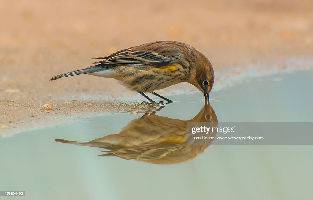 Yellow Rumped Warbler : Stock Photo