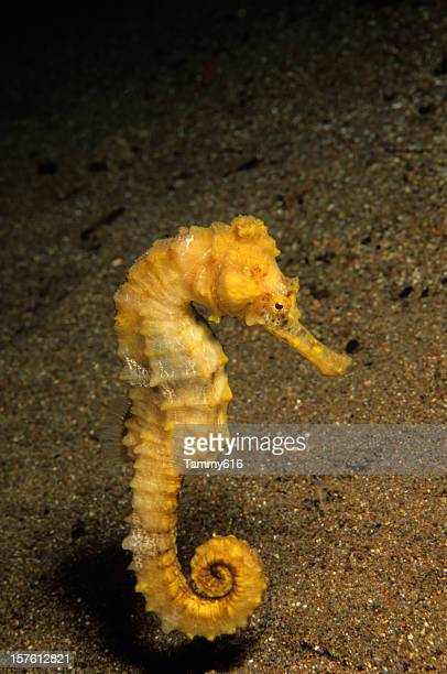 yellow seahorse dance - sea horse stock photos and pictures