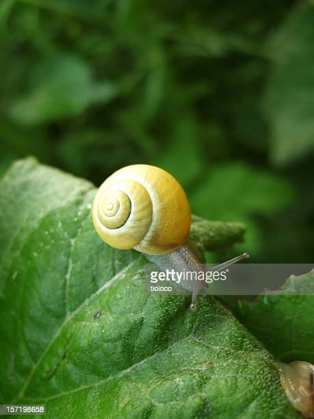 A yellow snail crawling along green leaves