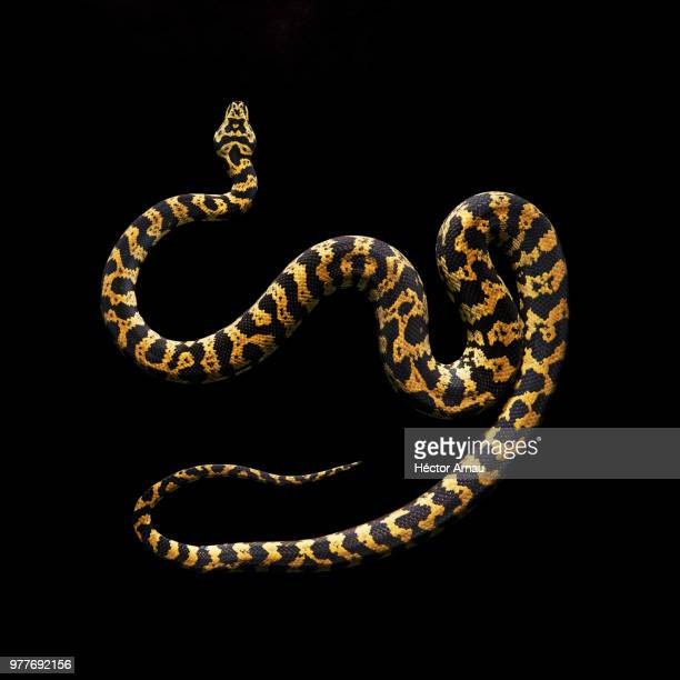 yellow snake with black spots on black background - snake stock photos and pictures