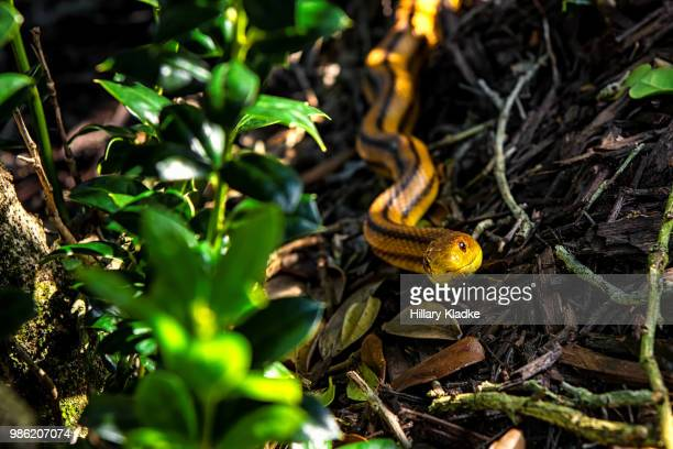 yellow snake with stripes - chicken snake stock pictures, royalty-free photos & images