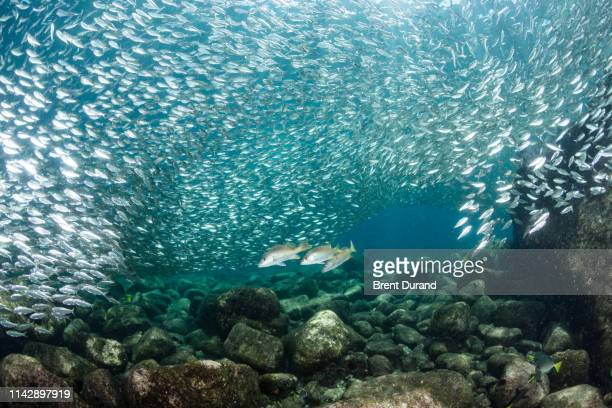yellow snapper and baitfish in la paz - sea of cortez stock pictures, royalty-free photos & images