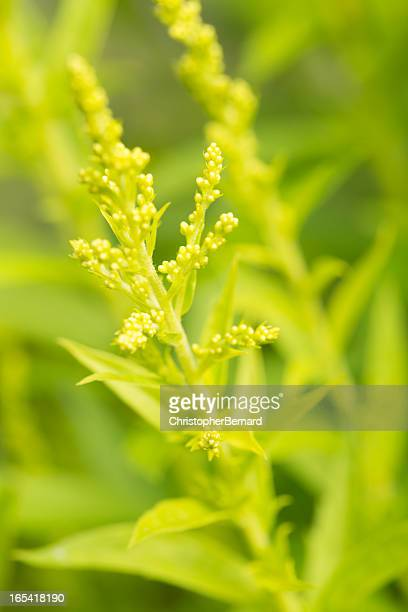 yellow solidago - goldenrod stock pictures, royalty-free photos & images