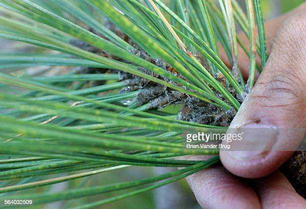Yellow spots on pine needles from a tree at Beetle Rock indicate ozone damage to the tree in Sequoia National Park Smog is very severe at Sequoia and...
