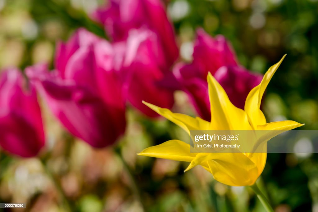 Yellow Star Shaped Flower Stock Photo Getty Images
