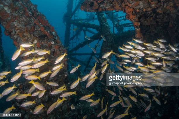 yellow stripe snappers at the wreck. - sunken stock pictures, royalty-free photos & images