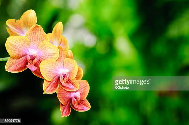 yellow striped phalaenopsis orchid - ogphoto stock photos and pictures
